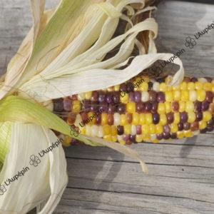 maïs doux arc en ciel inca