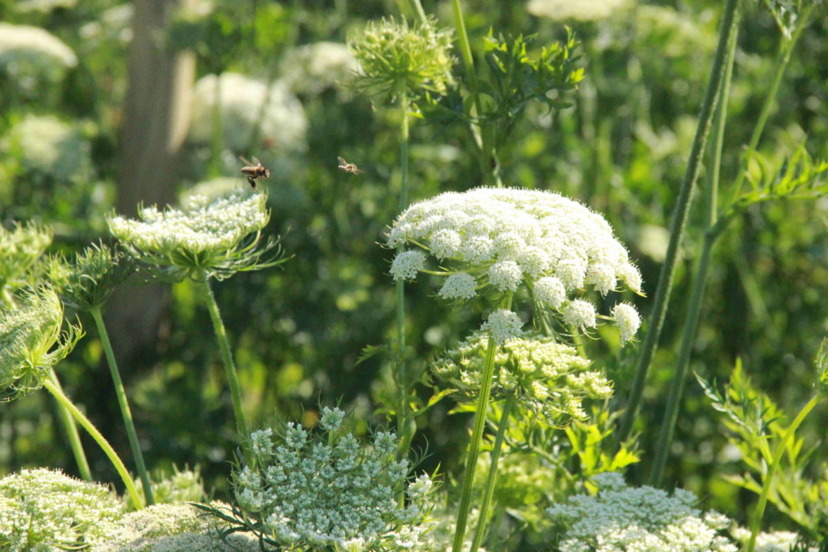 graines aubepin biologique