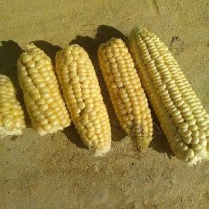 Maïs doux miner
